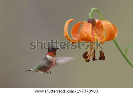 Ruby-throated Hummingbird (Archilochus colubris) Hovering Next to Michigan Lily (Lilium michiganensis) - Ontario, Canada - stock photo