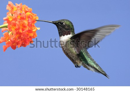 Ruby-throated Hummingbird (archilochus colubris) in flight feeding on a flower