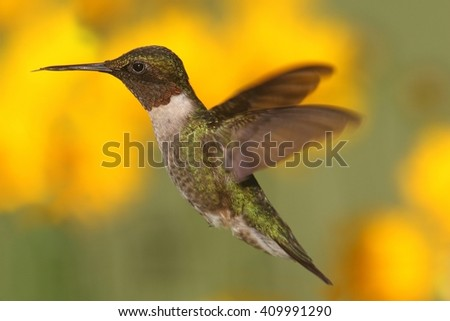 Ruby-throated Hummingbird (archilochus colubris) in flight with a colorful background - stock photo