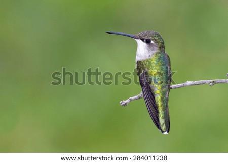 ruby, throated, hummingbird, bird, birding, bird-watching, hummer, USA, mexico, irredescent, green, blue. - stock photo