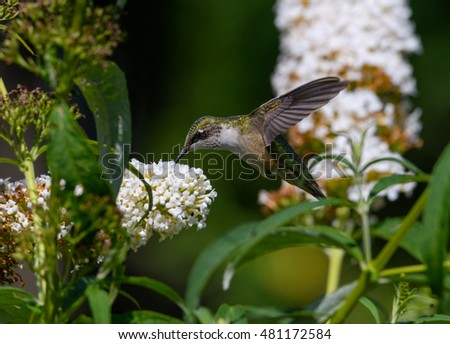 Ruby-throated Hummingbird Drinking Nectar from Butterfly Bush Flower