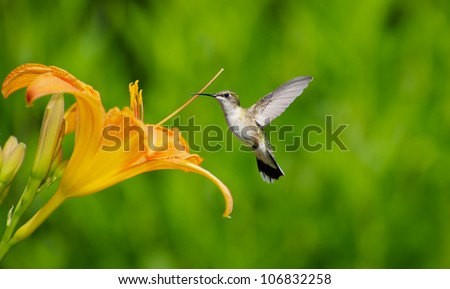 Ruby throated hummingbird female approaching a pretty orange day lily in the summer. - stock photo