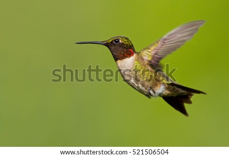 Ruby-Throated Hummingbird in flight . The bird is isolated on a perfect green background