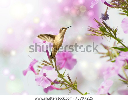 Ruby throated  hummingbird in motion in the garden approaching flowers.  Dreamy image with bokeh.