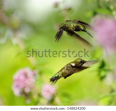 Ruby throated hummingbird juvenile male and an adult male in motion, fighting over territory in the garden.  - stock photo