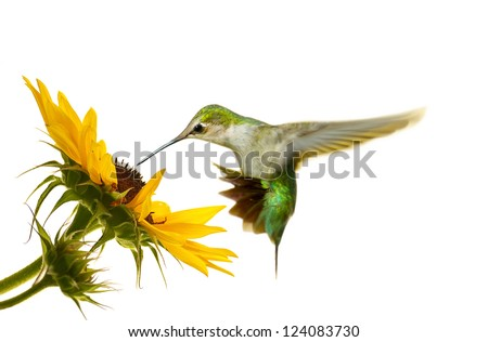 Ruby throated hummingbird, juvenile male, hovering at a sunflower, isolated on white. - stock photo