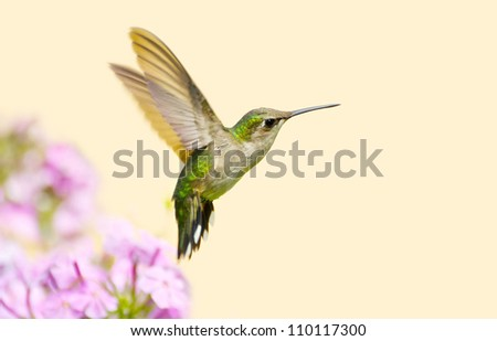 Ruby throated hummingbird juvenile male in motion in the garden on a hot summer day with copy space. - stock photo