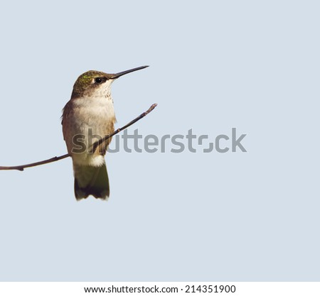Ruby throated hummingbird, juvenile male, perched on a branch, isolated on a light colored background.  - stock photo