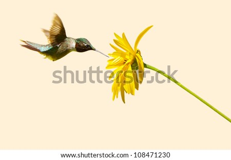 Ruby throated hummingbird  male approaching a yellow flower on a neutral background with copy space. - stock photo
