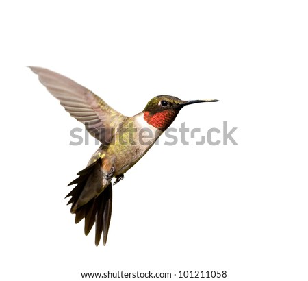 Ruby-throated Hummingbird male in flight; isolated on white - stock photo