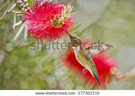 Ruby-throated hummingbird on Bottlebrush - stock photo