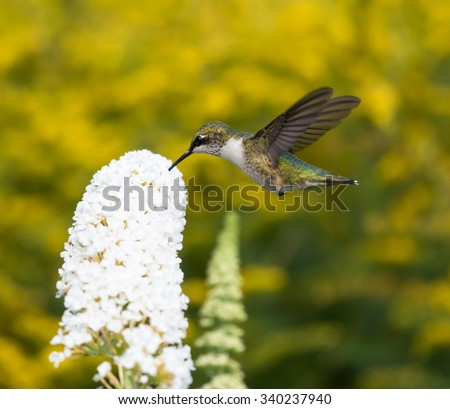 Ruby-throated Hummingbird on Yellow Background - stock photo