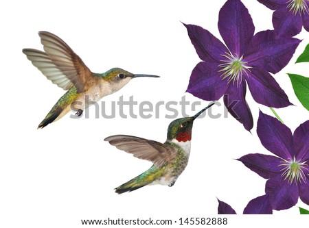Ruby-throated Hummingbird pair (Archilochus colubris) at purple clematis flowers. - stock photo