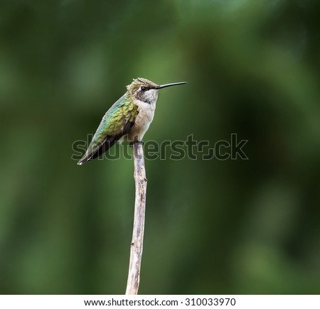 Ruby-throated Hummingbird perched on a branch on green background - stock photo