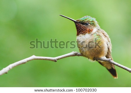 Ruby-throated hummingbird perched on a twig. - stock photo