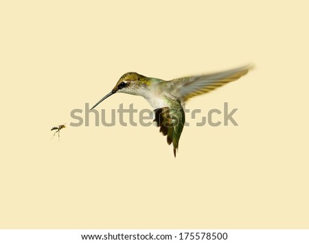 Ruby throated hummingbird preparing to flee from an approaching wasp.  - stock photo