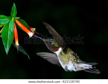 Ruby Throated Hummingbird sipping nectar from a coral red flower in Raleigh, North Carolina - stock photo