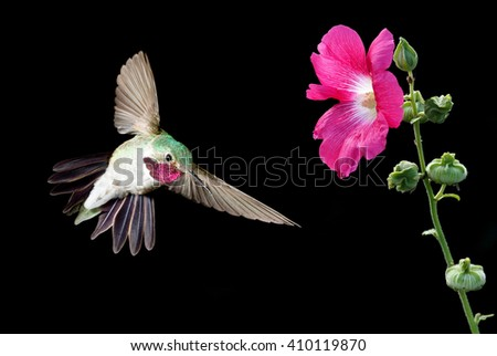 Ruby-throated Hummingbird with pink flower over black background - stock photo