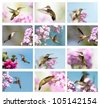 Ruby throated hummingbirds collage with females in motion.  Each individual full sized image is also in my portfolio. - stock photo