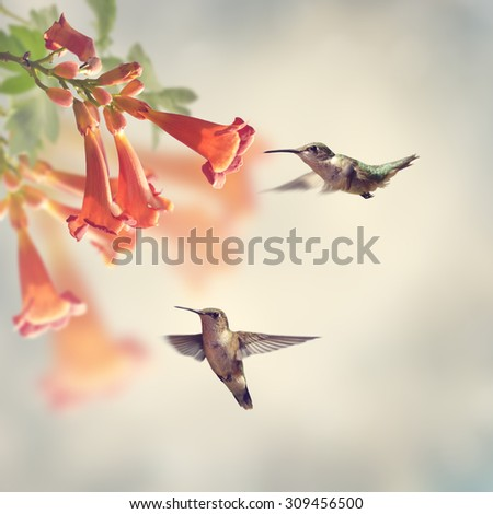 Ruby Throated Hummingbirds Hover Over Trumpet Vine - stock photo