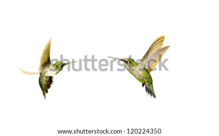 Ruby throated hummingbirds juvenile male isolated on white. - stock photo