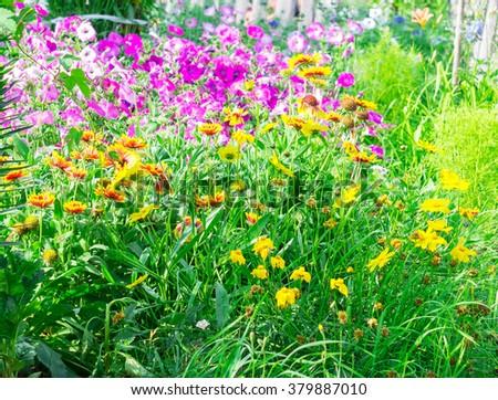 Rudbeckia bush flowers in garden on green background - stock photo