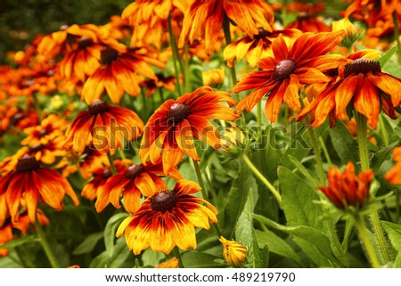 Rudbeckia flower bed