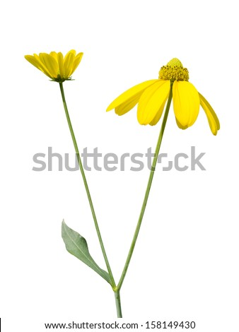 rudbeckia flower on white background