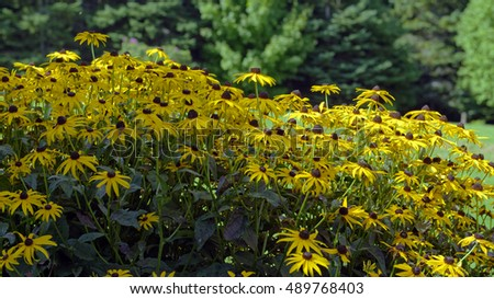 Rudbeckia in bloom in the Gardens of Hope, New Glasgow, Prince Edward Island, Canada