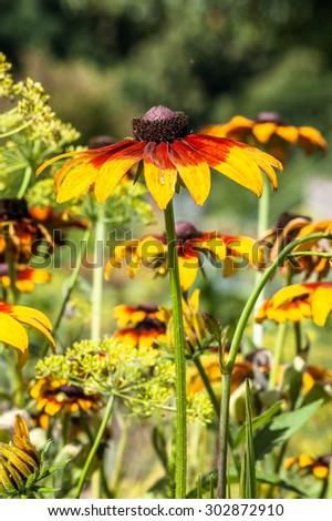 Rudbeckia or Black Eyed Susan flowers in the summer garden, summer flowers background with shallow depth of field. - stock photo