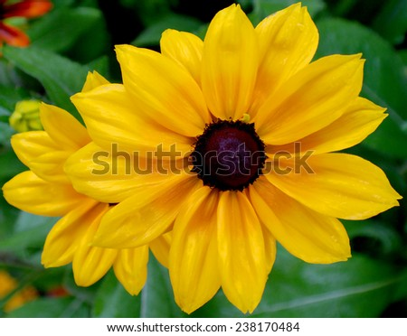 Rudbeckia. The species are commonly called coneflowers and black-eyed-susans; all are native to North America and many species are cultivated in gardens for their showy yellow or gold flower heads.  - stock photo