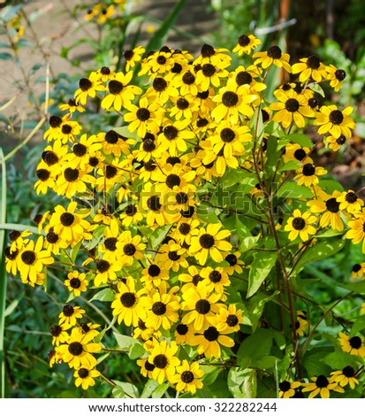 Rudbeckia triloba yellow flowers (browneyed Susan, brown-eyed Susan, thin-leaved coneflower, three-leaved coneflower). - stock photo