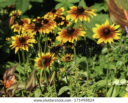 Rudbeckia yellow flowers in a park. Photo for backgrounds