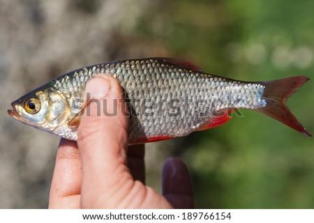 Rudd fish caught on a fishing rod in hand fisherman - stock photo