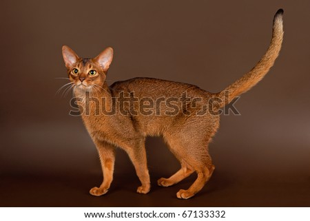 Ruddy abyssinian cat on black brown background - stock photo