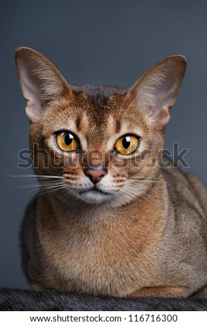 Ruddy Abyssinian cat with amber eyes - stock photo