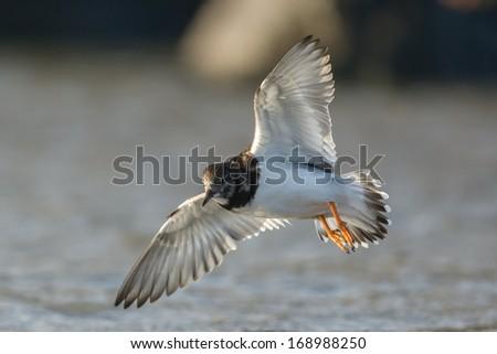 Ruddy turnstone flying at the beach - stock photo