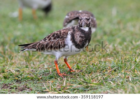 Ruddy turnstone looking for food in the grass near the sea and looking to the camera