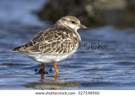 Ruddy turnstone young that stands in water sunny autumn day