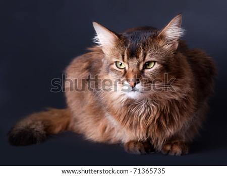 Rudy somali cat portrait on dark grey background - stock photo