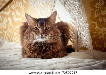 Rudy somali cat portrait under lace umbrella  on vintage background - stock photo
