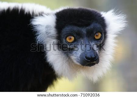 Ruffed Lemur - stock photo