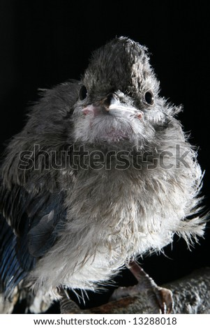 Ruffled Up Baby Fledgling Bluejay with Sparkle in Eye - stock photo