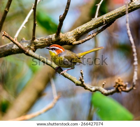 Rufous Capped Warbler. Taken in mid afternoon in the cloud forests of the Sierra Gorda Mexico. These small birds busily go foraging  through undergrowth in search of small insects and bugs . - stock photo