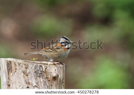 rufous-collared sparrow perched on a cut  tree trunk - stock photo