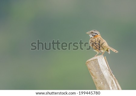Rufous-collared sparrow sits atop a fence post as photographed in Costa Rica. - stock photo