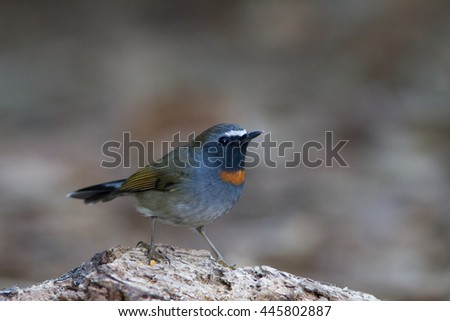 Rufous-gorgeted Flycatcher