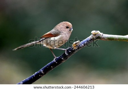 Rufous-headed Crowtit
