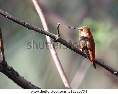 rufous hummingbird - stock photo