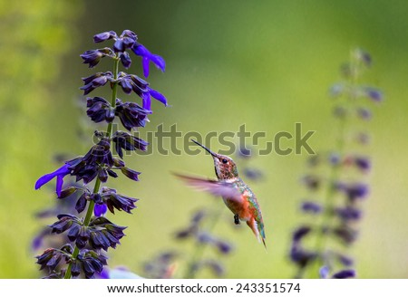 Rufous Hummingbird female feeding on wild Lobelia. This picture makes a good subject for a card or painting. the shot was taken in the afternoon sun in a forest, - stock photo